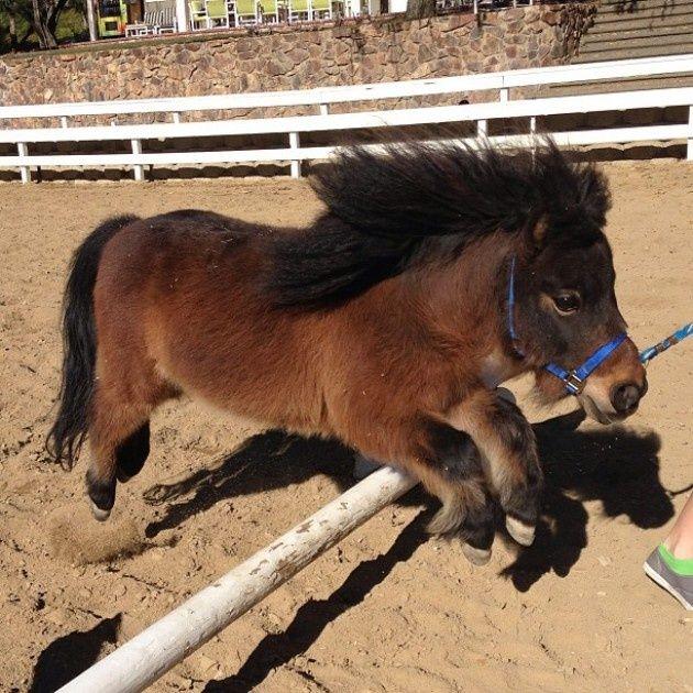 Miniature Horse jumping…gonna teach my little Gallifrey to jump.