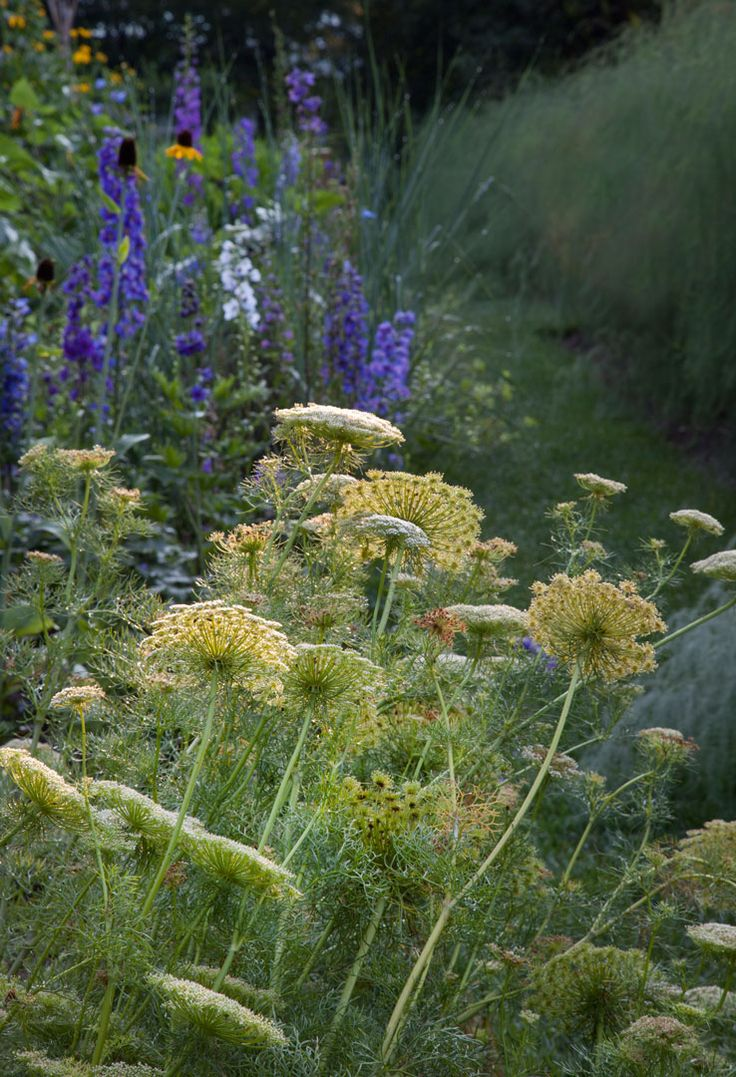 Ammi visnaga, a white flowering annual looks lovely with the morning light in the Cut Flower Garden. Chanticleer, US