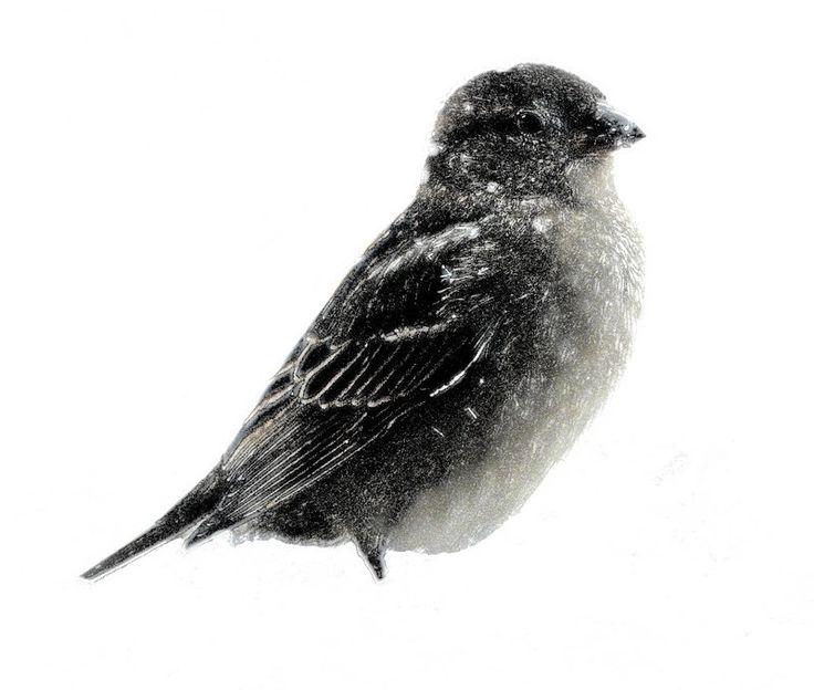 -  Panasonic DMC-FZ18 - Small bird in the snow in the manner of a mezzotint. - - art  - photography - by Tony Karp