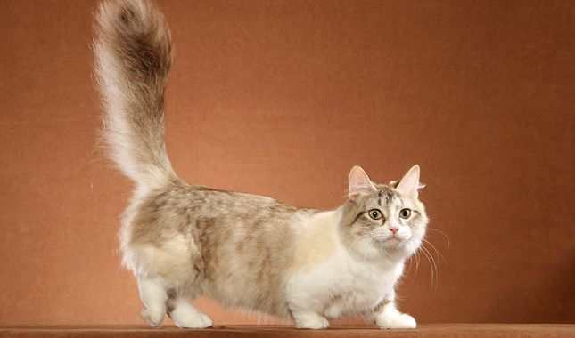 Munchkin cat – Tap the link now to see all of our cool cat collections! – pets