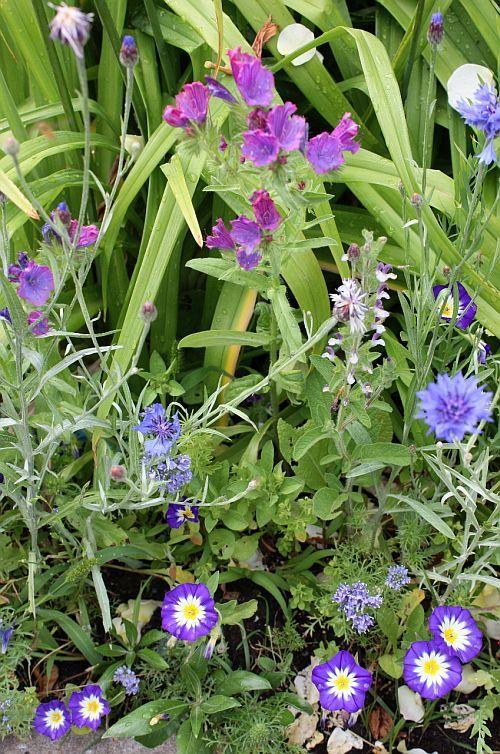 Sommarblommor, blå sommarblommor, lila sommarblommor - Franchi fröer Skandinavien, ekologiska fröer