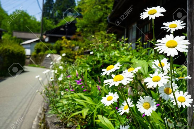 Closeup bright white daisy flowers blooming with y…