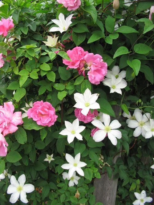 'Zephirine' rose with 'Huldine' clematis.