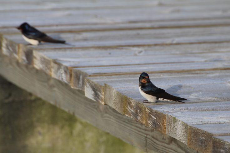 Barn swallow going to feed its babies. Helsinki, Finland. #helsinki #finland #barnswallow #swallow #birdphoto #virpikivinen