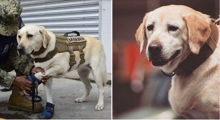 Frida, una perrita de raza labrador, junto a dos perros belga malinois luchan a diario para rescatar sobrevivientes del terremoto en México