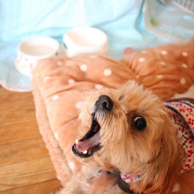 . 今日のてんてん🐶 . あくびがかわいい😊 . #あくび#犬#マルチーズプードル#マルプー#ミックス犬#小型犬#耳染めてます#犬好き#犬好きな人と繋がりたい#愛犬#わんこ#癒しわんこ#犬のいる暮らし#加工なし#一眼レフ#デジタル一眼レフ#canon#eoskissx8i #カメラ友達募集#カメラ女子#ファインダー越しの私の世界#レンズ越しの私の世界#写真撮ってる人と繋がりたい#写真好きな人と繋がりたい#フォロバ100#フォロバします#いいね#いいねした人全員フォローする