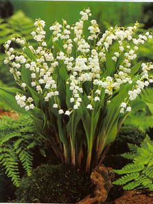 Lilies of the Valley in bed or ferns - you can never have too many lily of the valley. They make great ground cover in shaded areas.