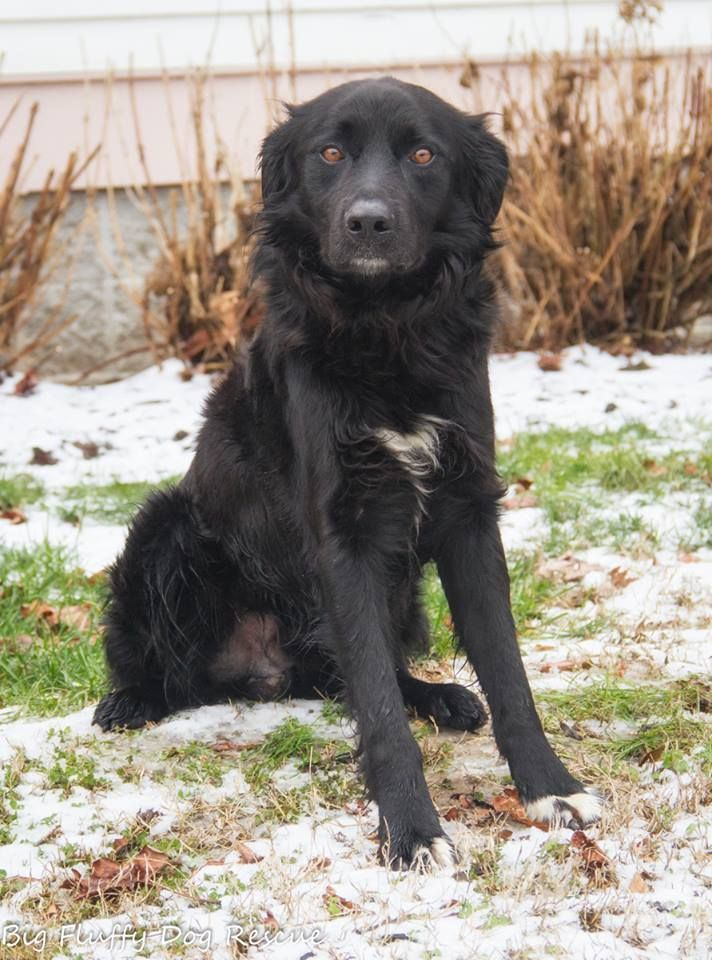Big Fluffy Dog Rescue Page Liked · 2 hrs ·     Sosa is a 2 year old flat coat retriever. As usual, he was reportedly a Newfoundland mix. Because any black dog with slightly longer fur is a Newf. Um not so much. Sosa is near to perfect, even if he was named by a Cubs fan. He is good with kids, cats and dogs amd has excellent manners. Those interested should email suzanne@bigfluffydogs.com.Rescues