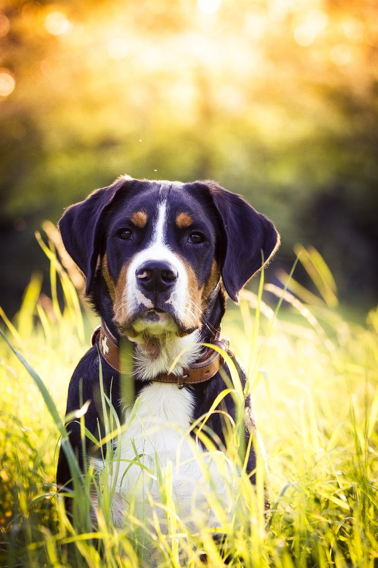 Greater Swiss Mountain Dog Breeder Bc