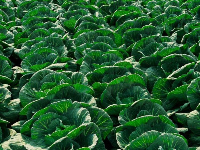 The health benefits of cabbage include treatment of constipation, stomach ulcers, headache, excess weight, skin disorders, eczema, jaundice, scurvy, rheumatism, arthritis, gout, eye disorders, heart diseases, ageing, and Alzheimer's disease. Cabbage is an abundant source of Vitamin C. You might be surprised to know that it is actually richer in vitamin C than oranges, which is traditionally considered the