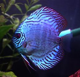 #Blue Diamond Discus