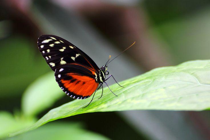 Monarchvlinder in Amazonica, Diergaarde Blijdorp 2014