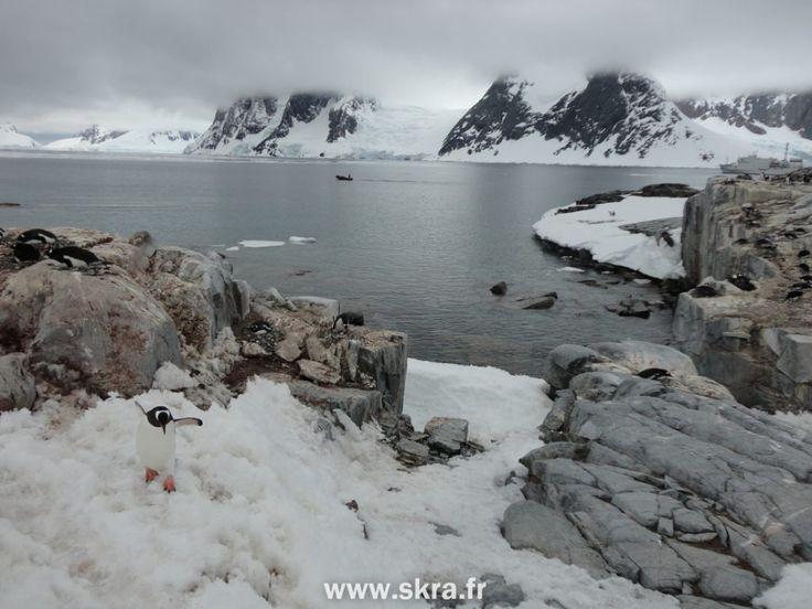 Manchot papou prudent dans une colonie, Antarctique