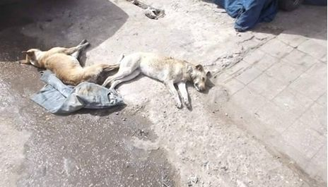 Stop poisoning dogs in Egypt · https://www.change.org/p/animal-protection-foundation-stop-poisoning-dogs-in-egypt