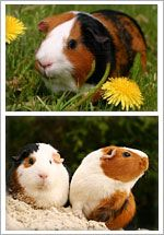 Guinea Pig Information, Guinea Pig Care and Guinea Pig Health. Diet info.