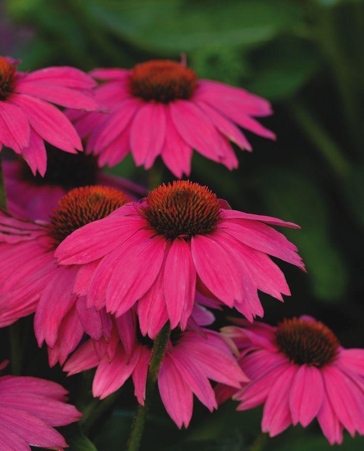 AAS Winner Echinacea 'PowWow Wild Berry' Incredibly vivid deep rose-purple flowers retain color longer with more flowers per plant.