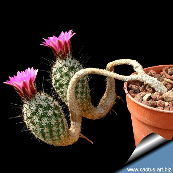Turbinicarpus subterraneus...  This is so crazy, beautiful, & ugly at the same time! I want it!!!