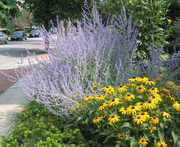 Russian Sage, very drought tolerantGardens Ideas, Gloriosa Daisies, Black Eye, Drought Tolerant Perennials, Eye Susan, Corner Fence, Front Yards, Black Ey Susan, Red Coneflower