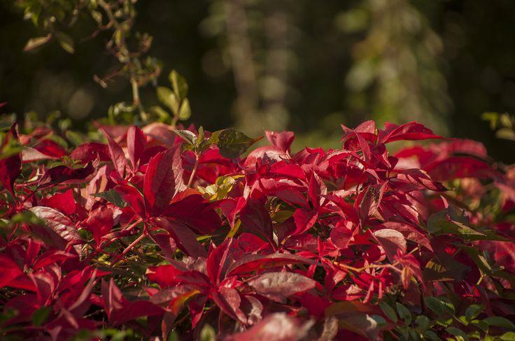 Parhenocissus quinquefolia