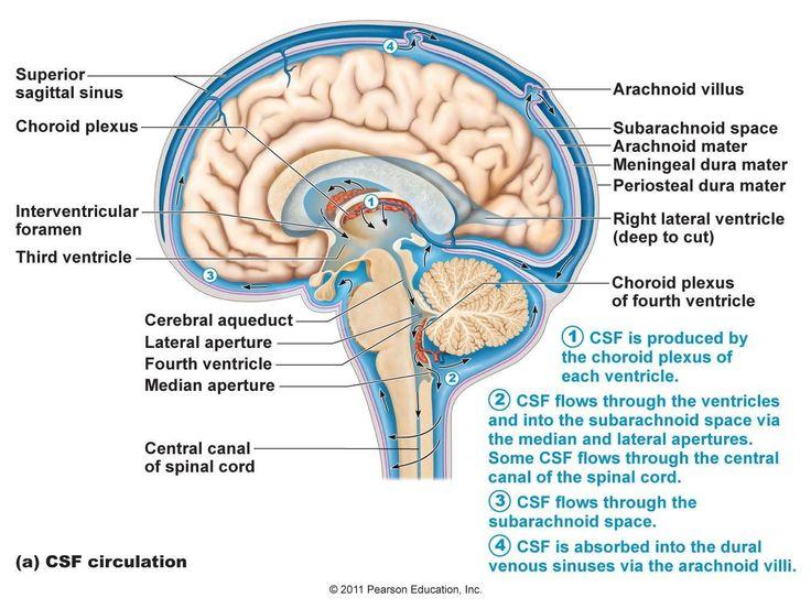 Brain Liquor Circulation Cisternae Google Search