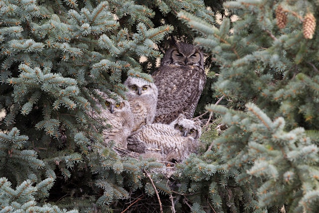 {owl & fuzzy owlets} photo by wendy74ca on Flickr