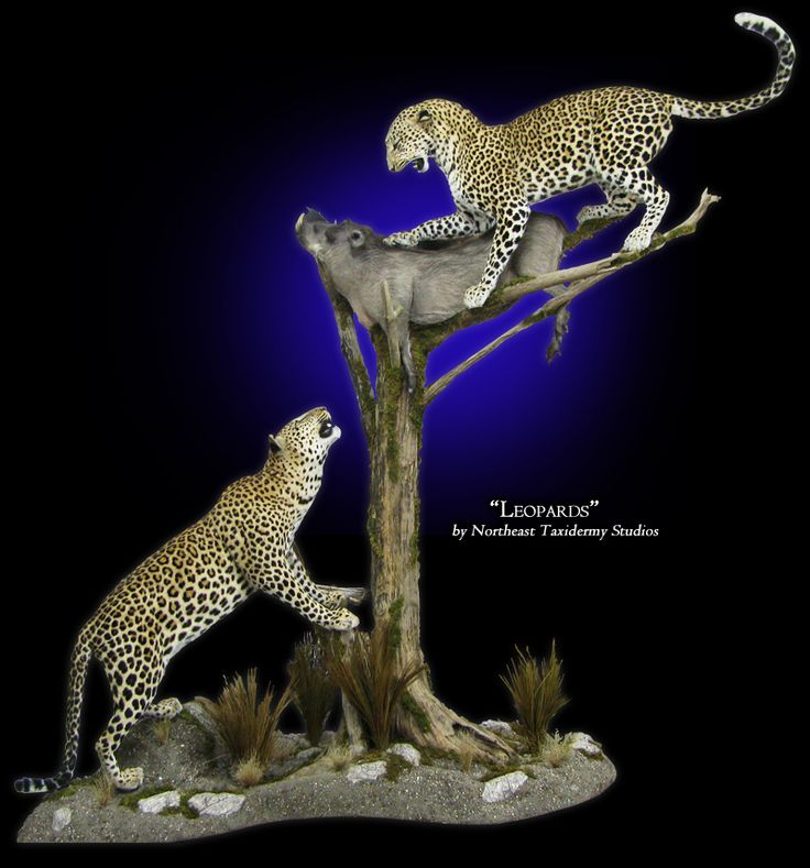 Leopard Mount By Northeast Taxidermy Studios Taxidermy