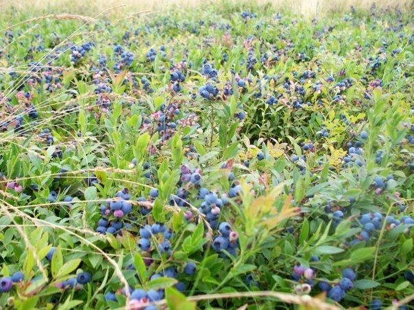 Blueberry Fields - rt 114 New Brunswick