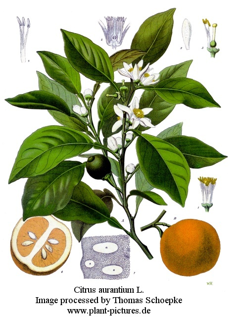 Naranjo: Citrus Sinensi, Medicine Plants, Orange Blossoms, Citrus Aurantium, Essential Oils, Neroli, Orange Trees, Blog, Bitterness Orange