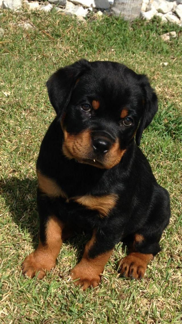 Outstanding Rottweiler Puppy Detail Is Readily Available On Our