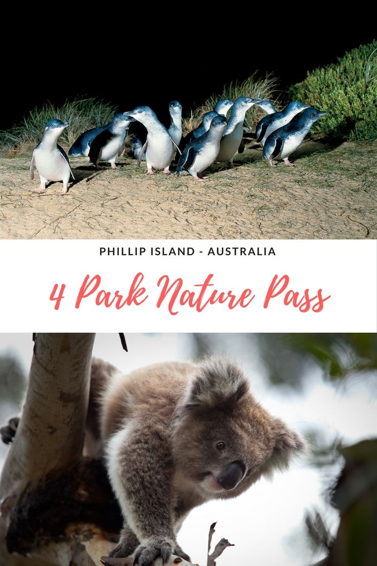The Phillip Island 4 Park Pass is an affordable way to see the nature parks on the Island. Koalas, Penguins and much more for the whole family. #PhillipIsland #Koalas #Penguins #Australia #Melbourne #penguinparade  | Things to do in Phillip Island | Phillip Island Penguin Parade | Where to stay in Phillip Island | Phillip Island koalas | Attractions on Phillip Island |