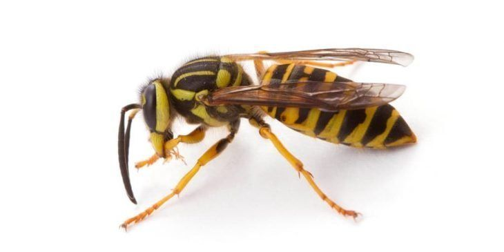 25 Types Of Wasps And Hornets Progardentips Yellow Jacket Wasp Wasp Hornet