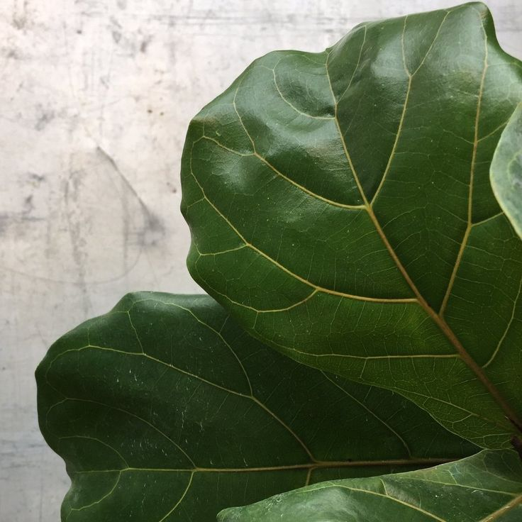 HOW TO Ficus Lyrata, Fiddle Leaf Fig Care Instructions