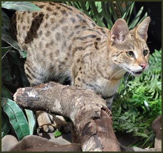 http://www.majesticsavannahs.com/F1, F2, F3, F4, & F5 Savannah Cats for Sale - Kitten Breeders TX | Majestic Savannahs