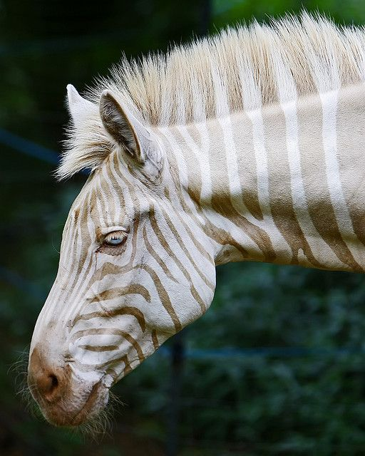 Zoe: A Zebra Of A Different Color | Flickr - Photo Sharing!