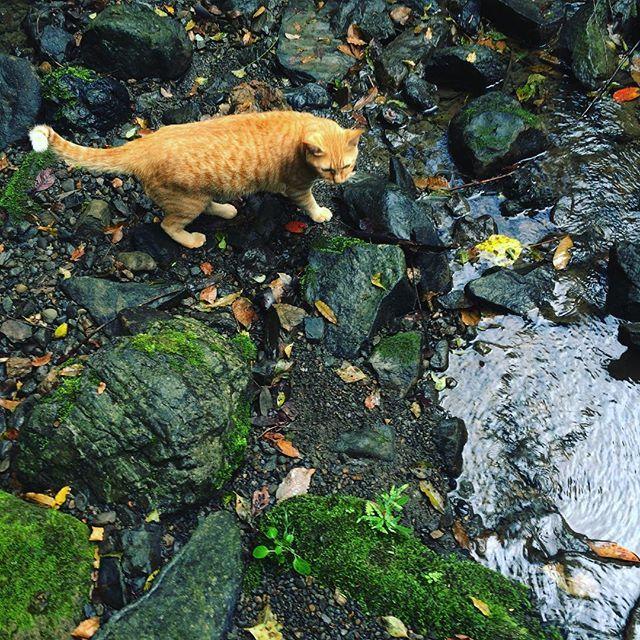 今日は暇な金曜日でした 明日からの土・日曜日✨✨✨ ご来店お待ちしています きなこ川辺で散歩  #猫 #ネコ #ねこ #cats #catstagram #catsofinstagram #ねこ部 #ねこすたぐらむ #ネコ部 #ニャンスタグラム #アンティークカフェロード #antiquecaferoad #掛川市 #掛川 #清流 #秋景色 #苔