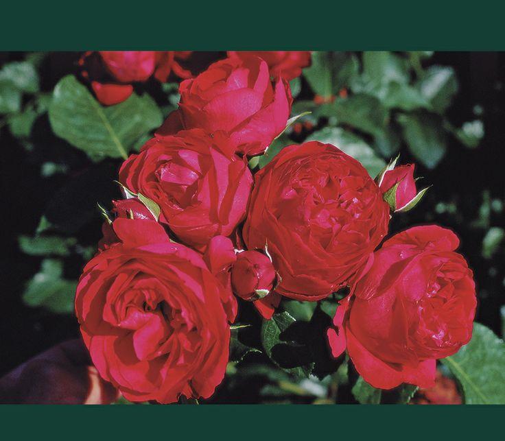 35 best i found you among the roses images on pinterest. Black Bedroom Furniture Sets. Home Design Ideas