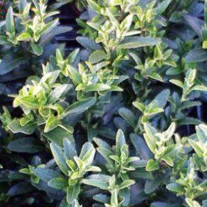 Euonymus sp   Nombre Popular:  Tipología: Arbusto de hoja perenne…