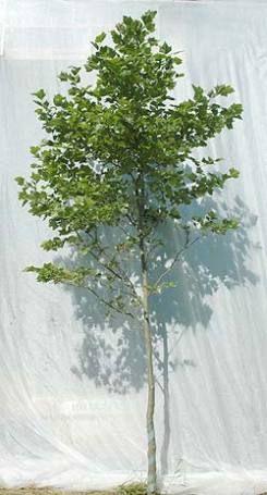 Platanus acerfolia. Platantræ Foto 2005