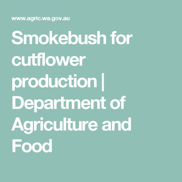 Smokebush for cutflower production | Department of Agriculture and Food