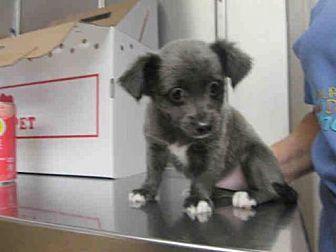 Chihuahua Mix Puppy for adoption in Orange, California - DARTH PUPPY