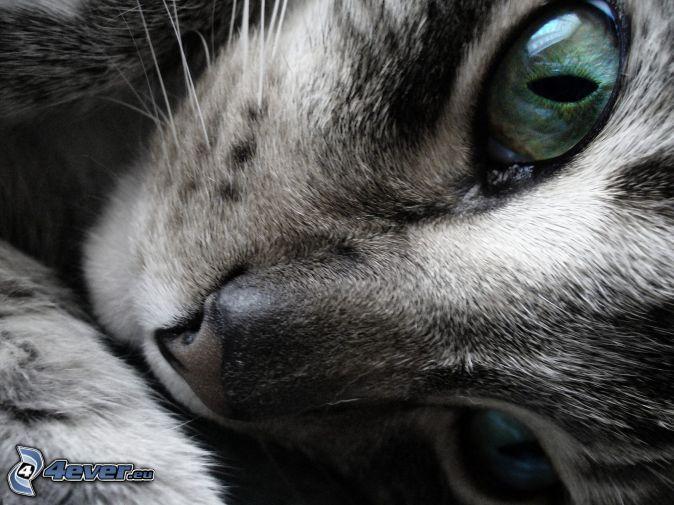 sivá mačka, mačacie oči
