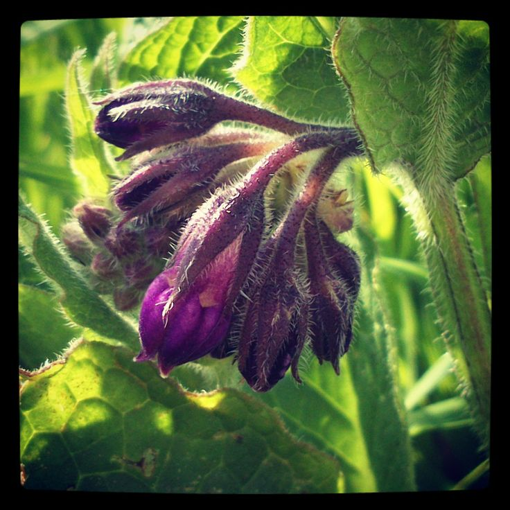 Symphytum officinale (comfrey) -Scientific studies on those rodents indicated that continued use of comfrey produced liver problems. Researchers tracked down the problem by focusing on a chemical compound called prrylizidine alkaloid. When taken internally, this compound turns toxic. The problem is that it does so gradually over time. So instead of making one sick, comfrey can be taken for years without anyone noticing any kind of warning sign until it is too late. //Kostival //Beinwell