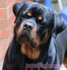 Rottweiler Puppies puppies for sale Somerville Victoria. Rottweiler dogs for sale in Australia