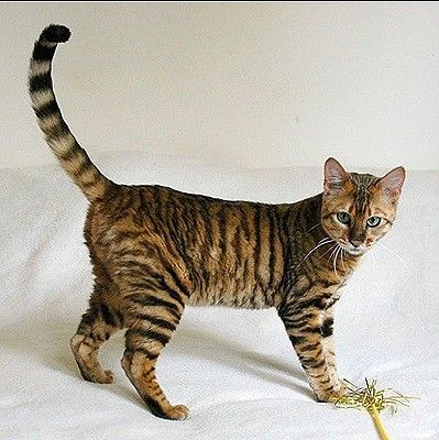 The Toyger, beautiful cat breed! ...........click here to find out more…
