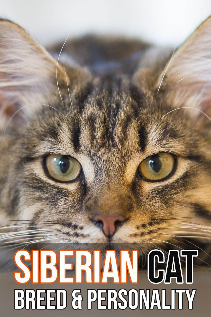 Siberian Cat Breed And Personality Siberian Cat Cat Breeds Siamese Cats Facts