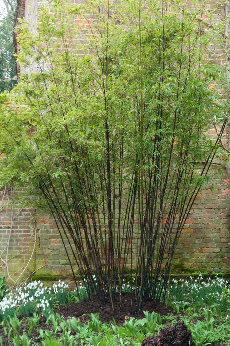 phyllostachys nigra  beautifully pruned