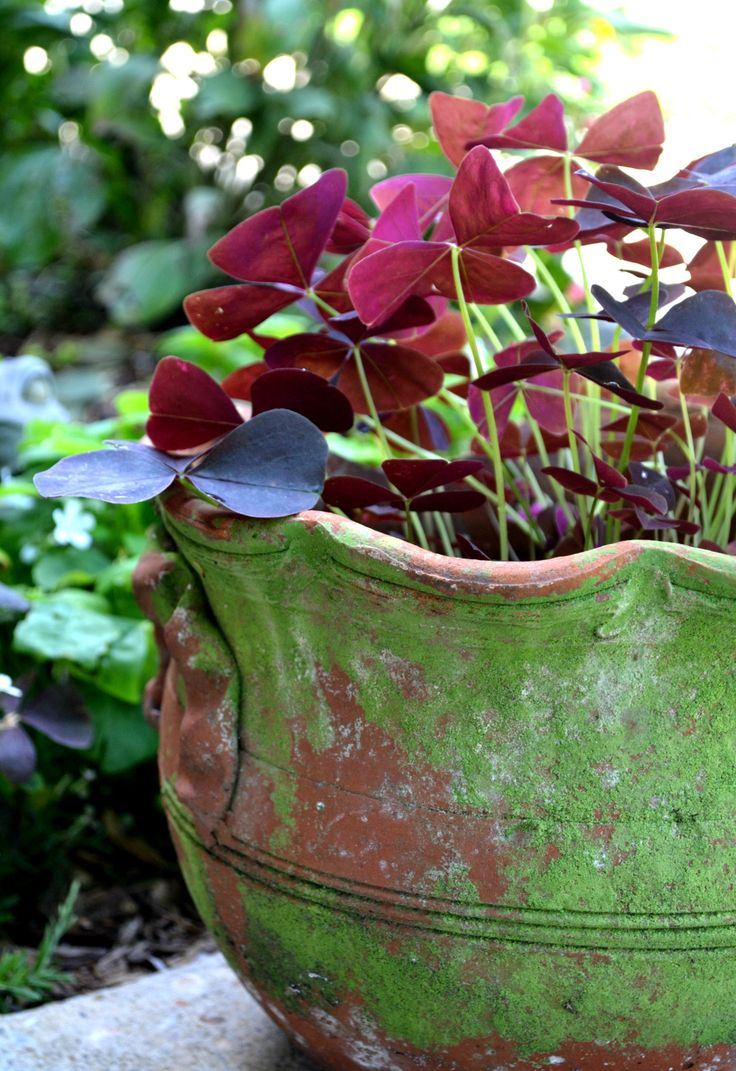 43 best images about fern oxalis shamrock on pinterest gardens luck of the irish and clovers - Shamrock indoor plant ...