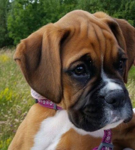 Boxer pup Boxer puppies, Boxer dogs, Boxer love