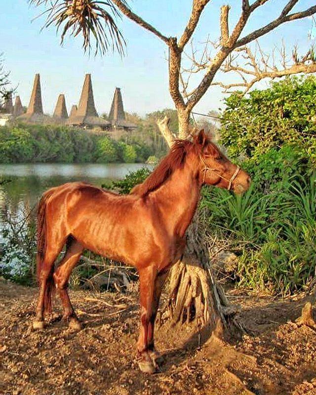 Stallion of sumba  Next Sumba Trip Jul: 2-5, 7-10 Aug: 4-7 Sep: 09-12 Oct: 13-16, 27-30 Nov: 10-13 Dec: 30-2 Jan: 5-8 (2017) For trip details/ Reservation/ private trip arrangement please mail to info@kakabantrip.com  #kakabantriptosumba #sumba #sumbaisland #pulausumba #exploresumba #visitsumba #indonesia #kakabantrip  #stallion #tropicalparadise