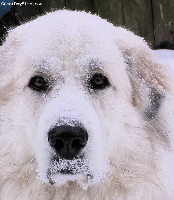 """Great Pyrenees, 4 years, White, """" Got Snow ?"""""""